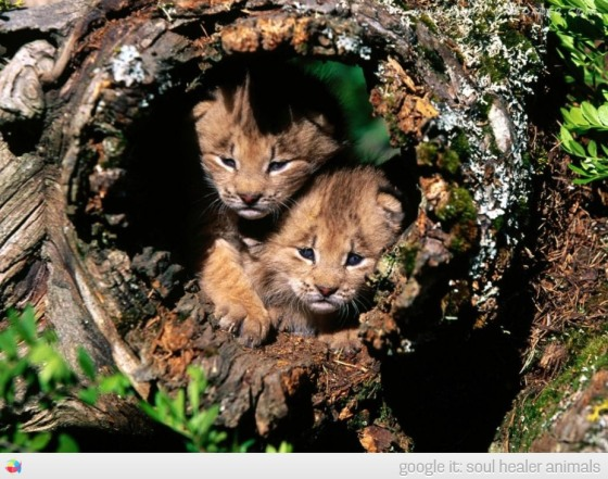 Cute-Lynx-kittens-canada-trunk-soul-healer-animals